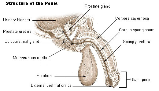 Male Enhancement Organ Structure